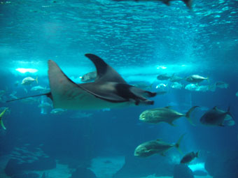 OCEANARIUM RAIE