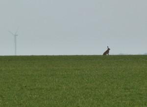 Un lièvre dans la plaine